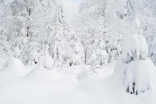 Bäume auf dem Feldberg im Schnee