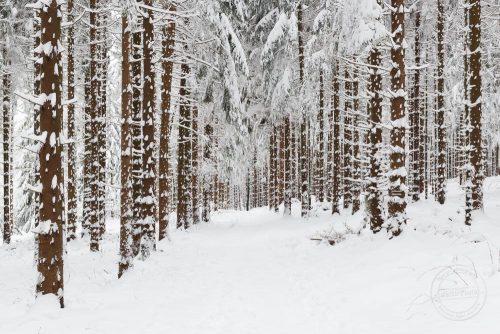 Verschneiter Nadelwald im Winter